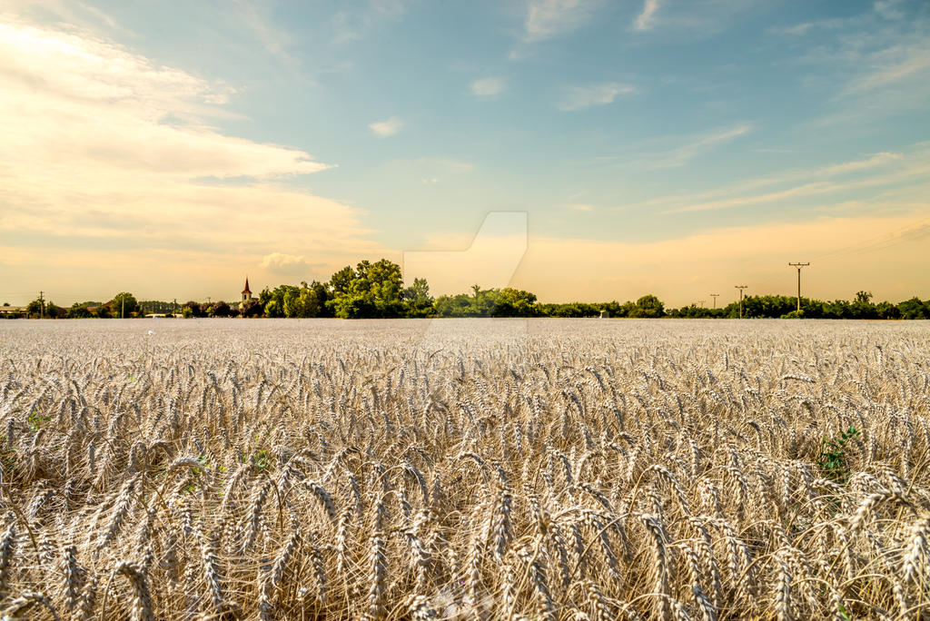 Beautiful and warm sunset over wheat field by mszucs
