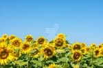 Colorful sunflower heads in warm summer day