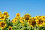Rebellious colorful, beautiful sunflower heads