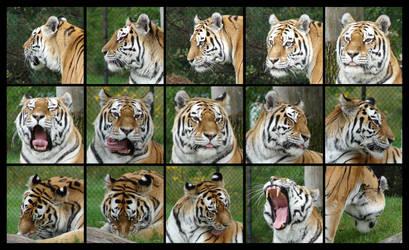 Tiger head angles