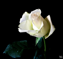 White as a rose - Digital painting training