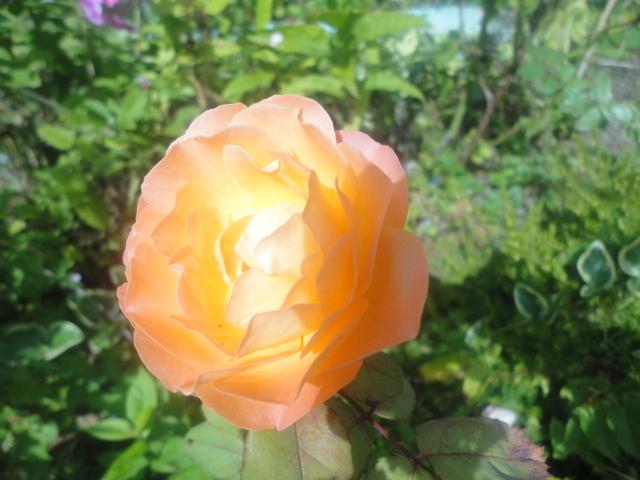 Orange Rose by NayaWhovian1016