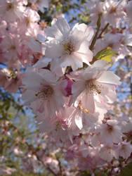 Sakura flowers by Aiira