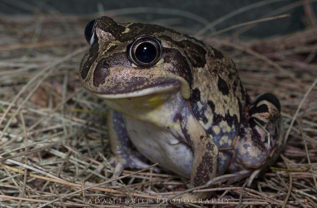 Western Banjo Frog by outstar1979