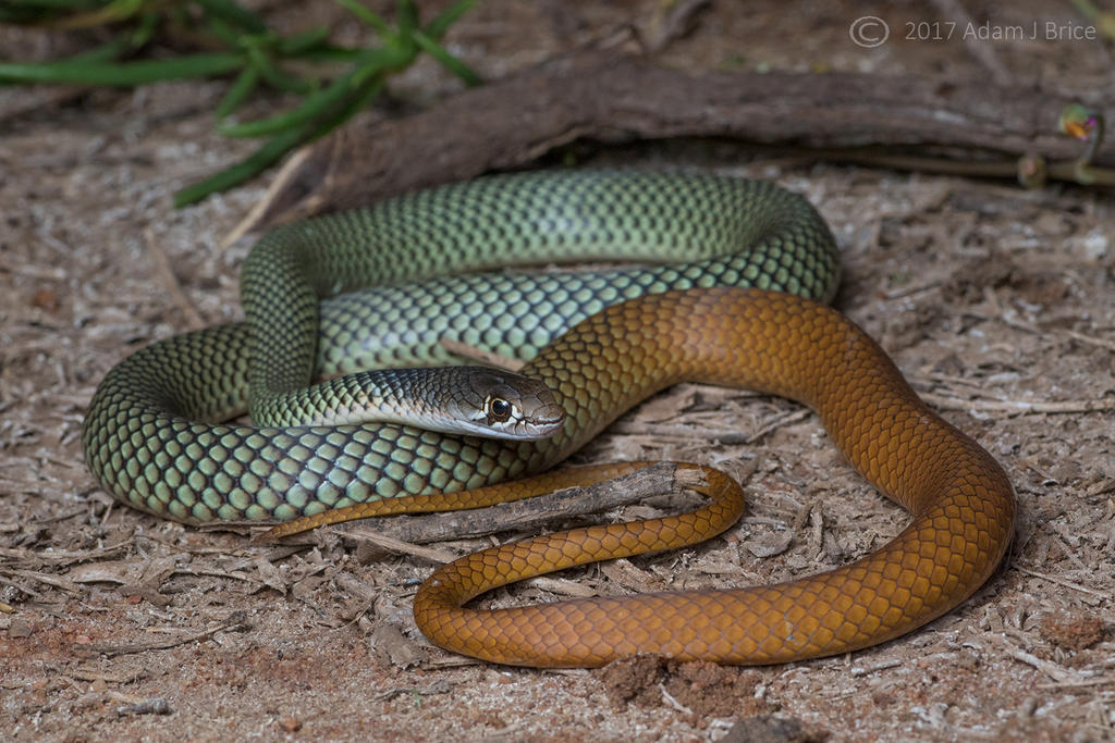Coppertail by outstar1979