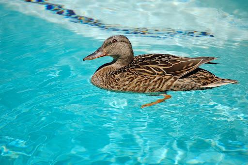 Duck in pool by lightnessduck