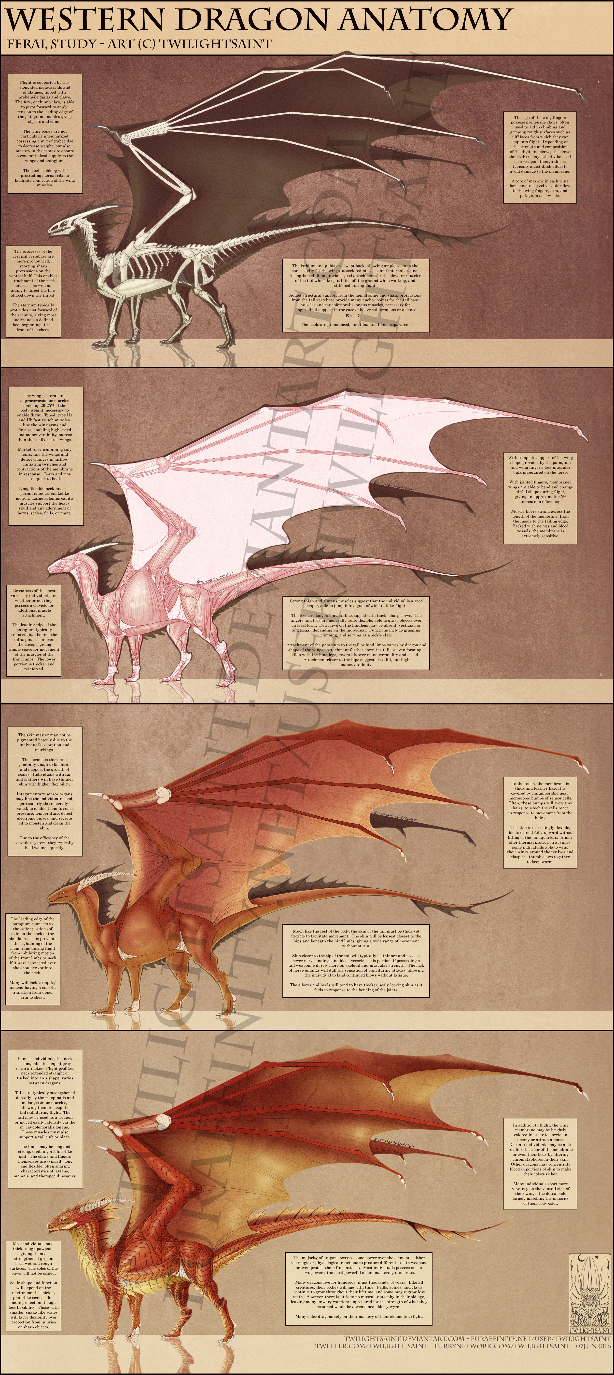 Reference - Western Dragon Anatomy by TwilightSaint