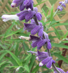 Mexican Sage Flower by Belvarius