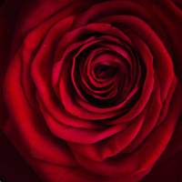 The Rose by Mocris