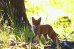 Young fox in morning light