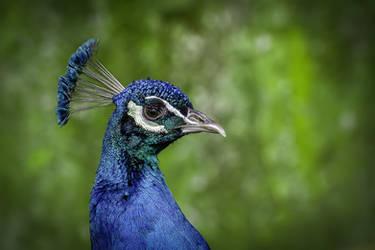 Peafowl by Vladimir-Z