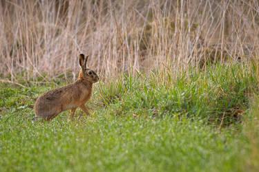 European hare by Vladimir-Z