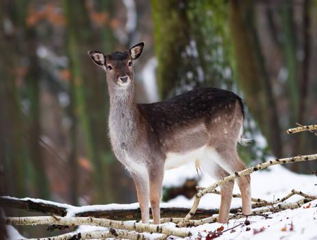 Fallow deer by Vladimir-Z