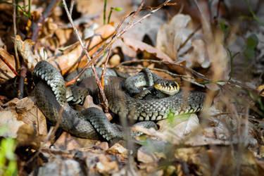 Grass snake by Vladimir-Z