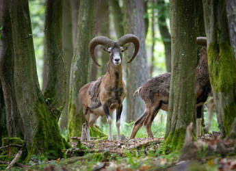European mouflon by Vladimir-Z