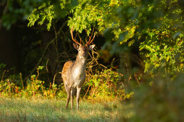 Fallow deer buck by Vladimir-Z