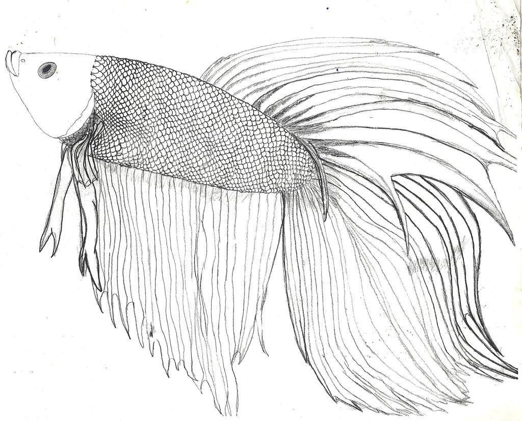 Betta fish d and some info by zs99 on deviantart for Fish drawing pictures