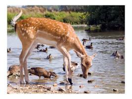 Wild Fallow Deer by amazoncat