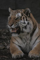 Tiger - 20 by Seductive-Stock