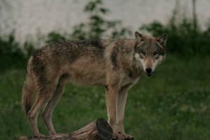 Wolf - 13