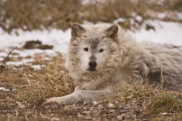 Wolf - 15