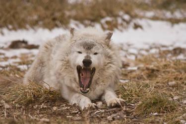 Wolf - 16
