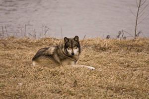 Wolf - 18