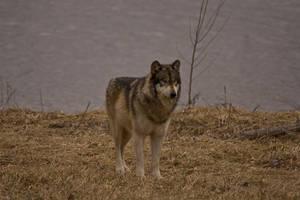 Wolf - 19