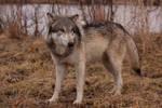 Wolf - 21
