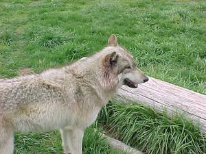 Wolf - 3