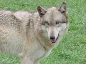 Wolf - 4