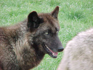 Wolf - 5