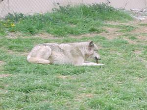 Wolf - 6