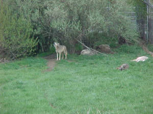 Wolves - 1