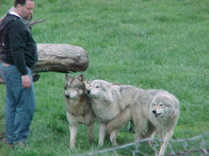 Wolves - 6