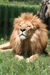 Lion - 1 by Seductive-Stock