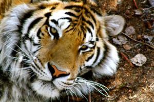 Tigertiger by EmmaAndClaude
