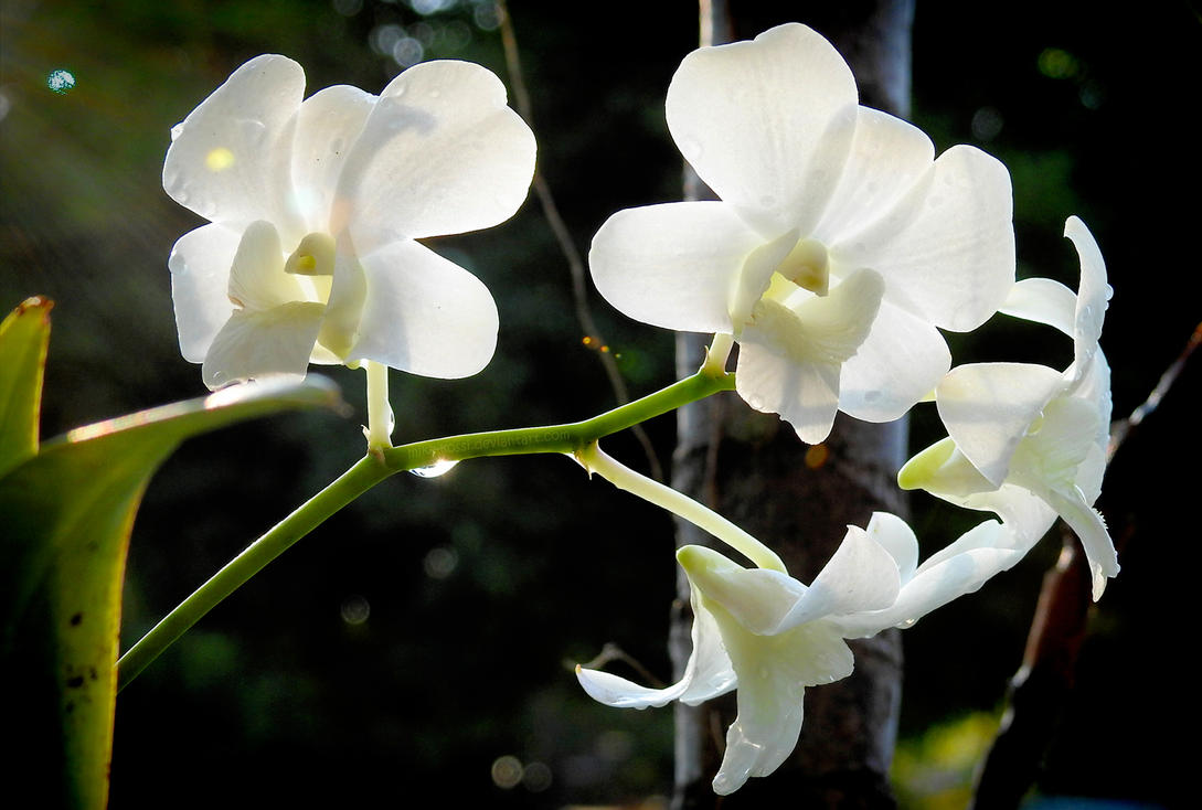 Garden flowers - Dendrobium White Orchid by Mike-Kossi
