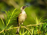 Silver-crowned Friarbird