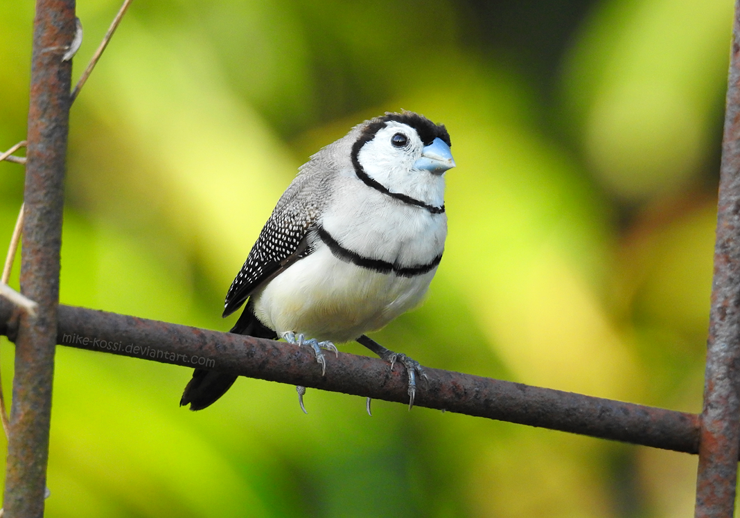 Double-barred Finch by Mike-Kossi