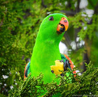 Red-Wing Parrot 3 by Mike-Kossi