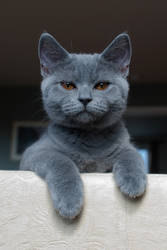 Aiko - British Shorthair by pistons