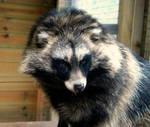 Raccoon Dog 2 by tealkraken