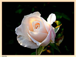 rose by amrinka