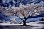 Cemetery Tree -redux-