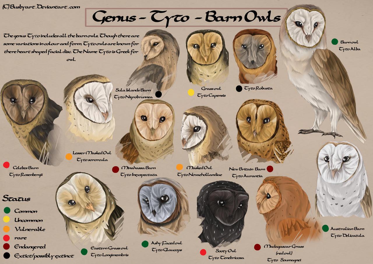 Tyto species chart by busbyart on DeviantArt