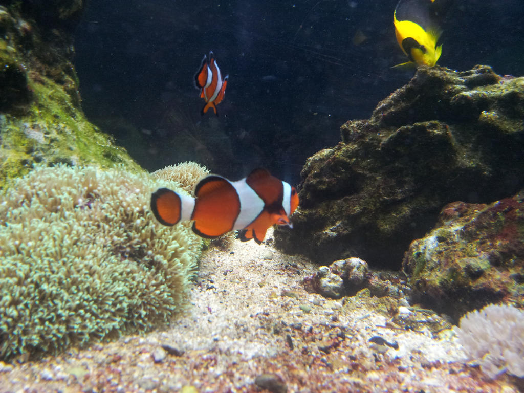 Clown fish blue planet aquarium by burnorimplode for Blue clown fish