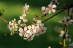 Cherry-blossom 6