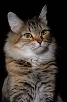 A cat 7 by Tatyana-Sanina