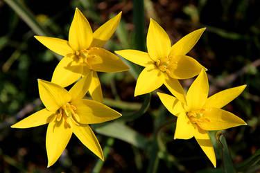 Tulipa biebersteiniana (Tulipa sylvestris) by Tatyana-Sanina